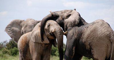 Diesem Elefanten rutscht ein Pups raus - und seine Herde ist empört!