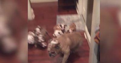 Diese Bulldogge braucht eine Pause vom Kinderbespaßen