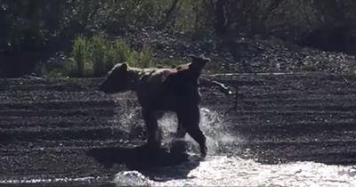 Diese Bären-Mama spielt Wassertaxi für ihre beiden Babys!