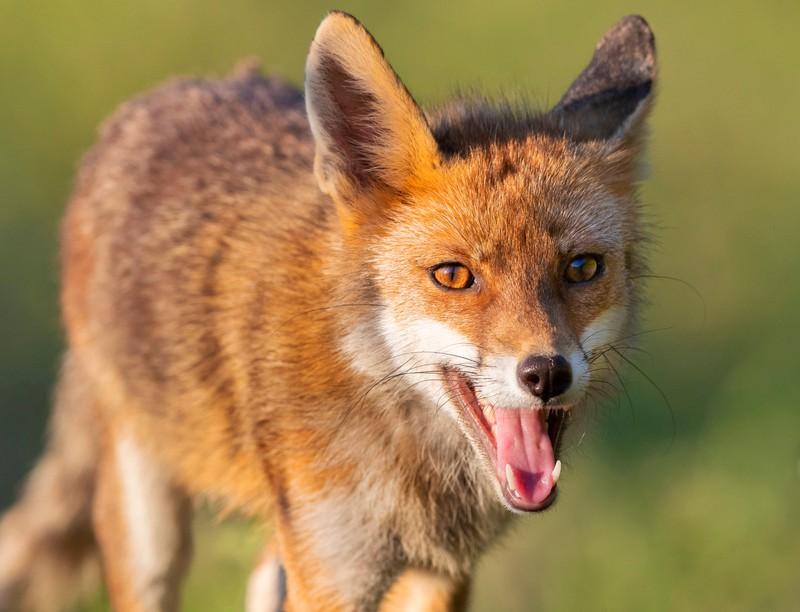 Hast du schon mal den Schrei eines Fuchses gehört?