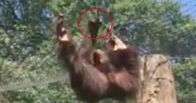 Dieser Orang-Utan ist ein echter Entfesselungskünstler