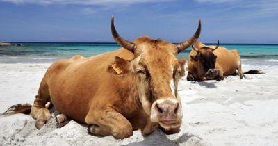 Frau will Selfie mit Kuh