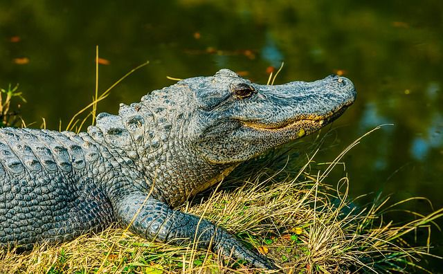 So versucht dieser Mann, einen Alligator loszuwerden