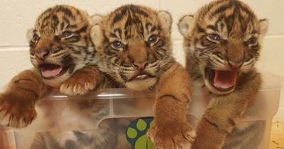 Sibirisches Tiger-Junges wird von Mutter zurückgewiesen, die Zoowärter haben eine riskante Idee