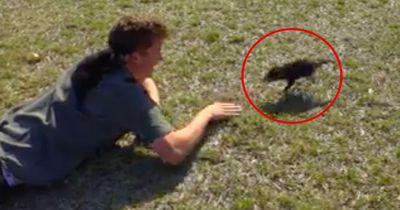 Dieser kleine Tasmanische Teufel ist in seinen Retter verliebt