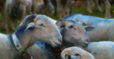 Diese Schafe fraßen versehentlich Hanf