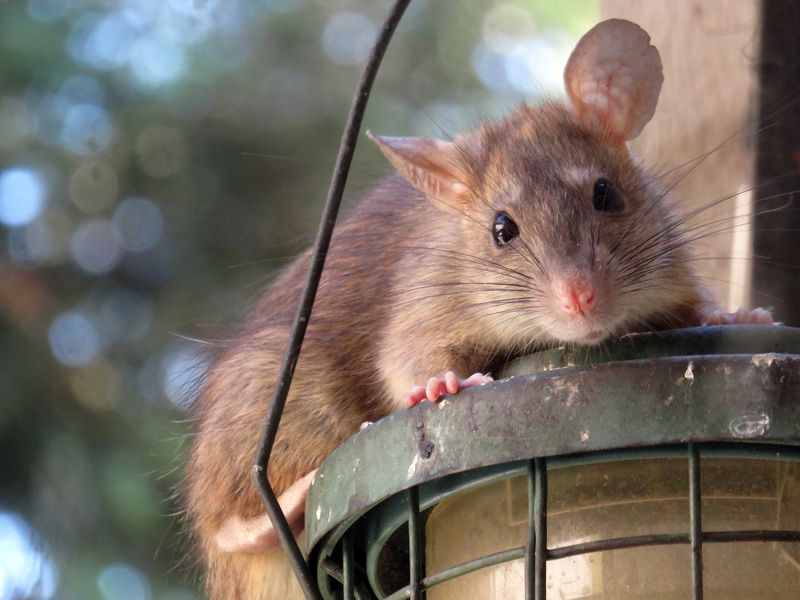Hier kommt der ultimative Beweis, dass Ratten die süßesten Tiere aller Zeiten sind