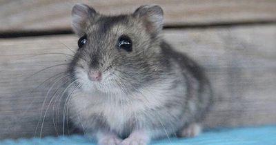 Ihr Hamster rührte sich tagelang nicht vom Fleck. Was der Tierarzt fand, ist unglaublich!