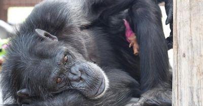 Diese Schimpansin bekam eine ganz besondere Geburtstagsfeier