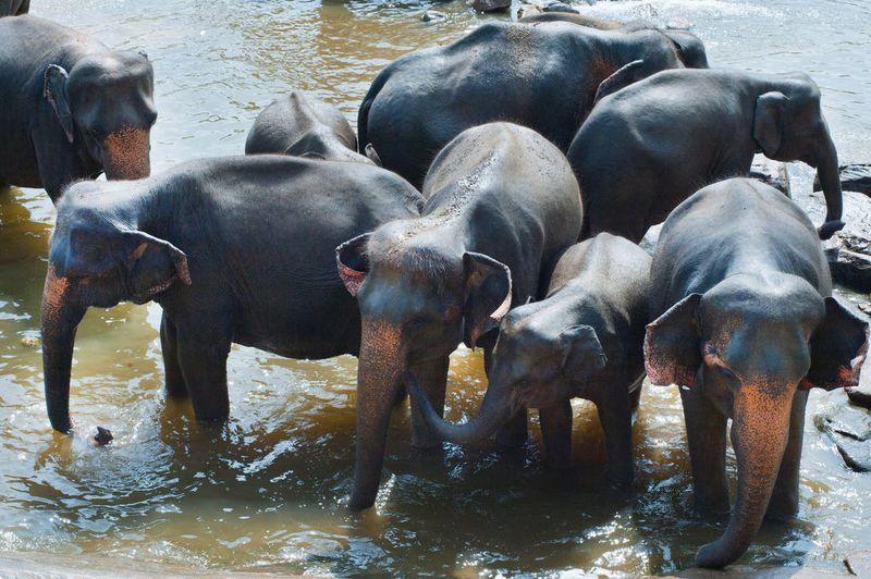 Elefanten vor Sri Lanka ins offene Meer getrieben - und nicht zum ersten Mal