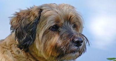 Sie dachte, sie hätte einen Tibet-Terrier adoptiert