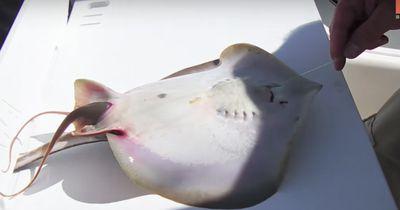 Ein Fischer bemerkte einen sich quälenden Rochen und sah, dass er ganz spezielle Hilfe brauchte