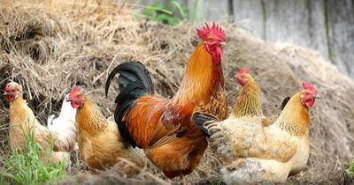 So hat dieser Farmer seine Hühner unter Kontrolle