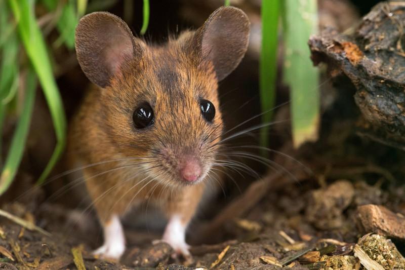 Gefährlicher Virus wird von einer kleinen Maus übertragen