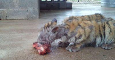Als sie diesen Tiger in Pflege nahmen, war er völlig ausgezehrt
