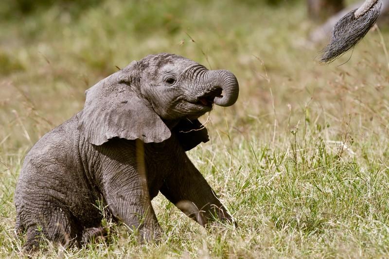 Aufgeben ist für diesen Elefanten keine Option