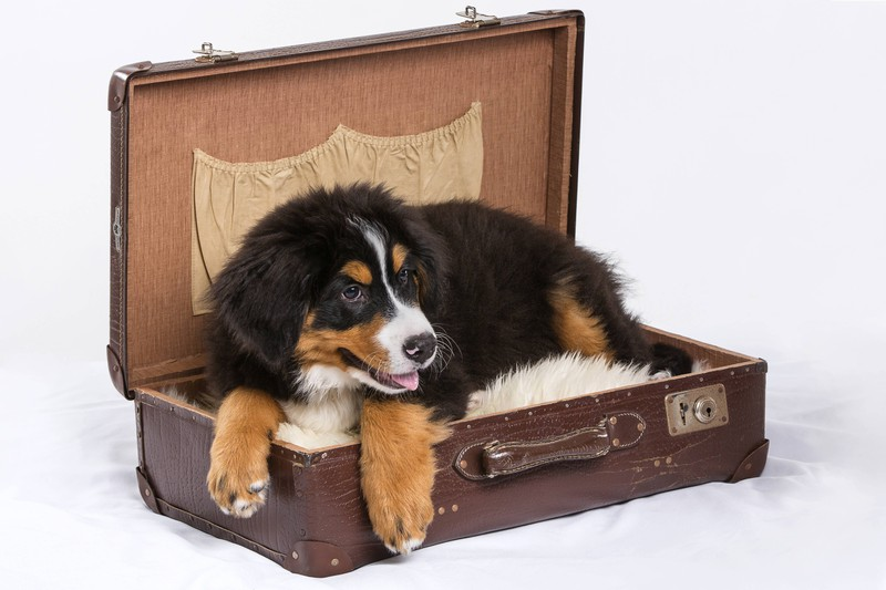 Dieses Bild zeigt einen Hund, der auf Reisen etwas mehr Gepäck bedeutet.