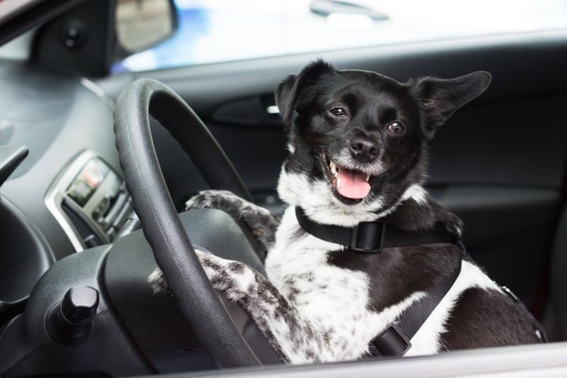 Dieses Bild zeigt einen Hund im Auto bei einem Roadtrip.