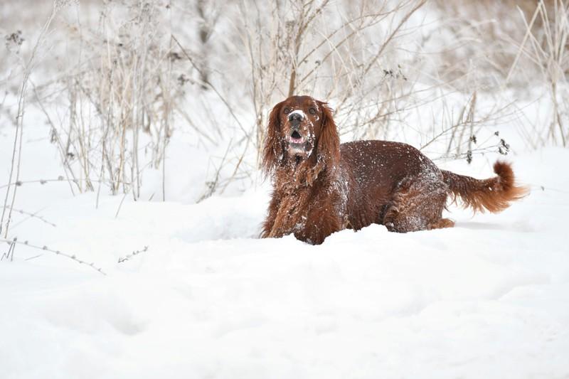 Dieses Bild zeigt einen Hund in einem kälteren Land wie Litauen oder Irland.