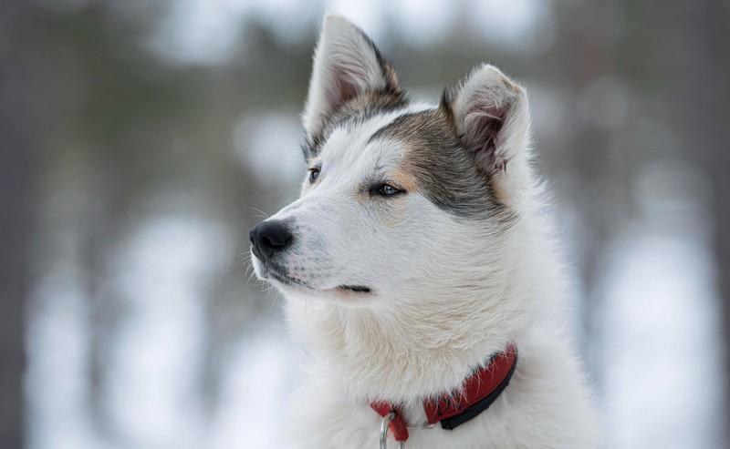 Dieses Bild zeigt einen Hund in Schweden, ein besonders hundefreundliches Land.