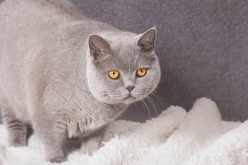 Die Britisch Kurzhaar Katze und die beliebtesten Katzenrassen