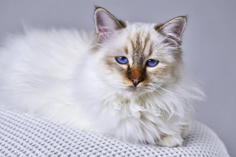 Die Katze Heilige Birma ist abgebildet und es geht um die beliebtesten Katzenrassen.