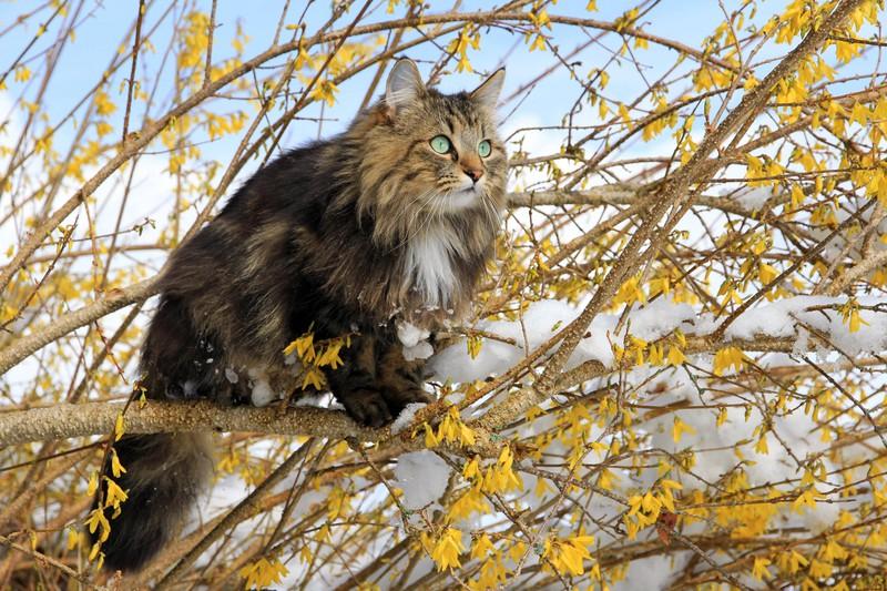 Die Norwegische Waldkatze und die beliebtesten Katzenrassen
