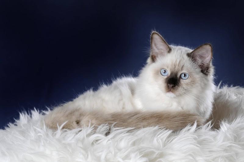 Die Ragdoll Katze und es geht um die beliebtesten Katzenrassen