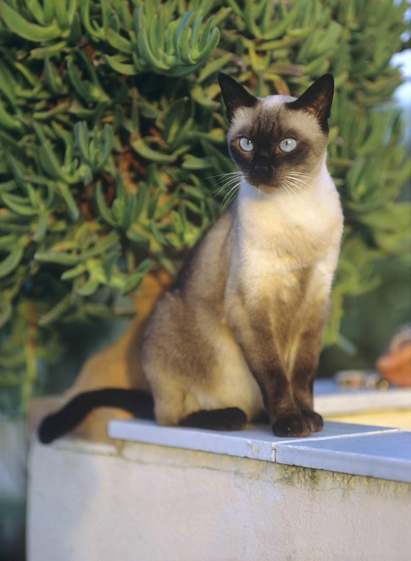 Die Siamkatze gehört zu den beliebtesten Katzenrassen