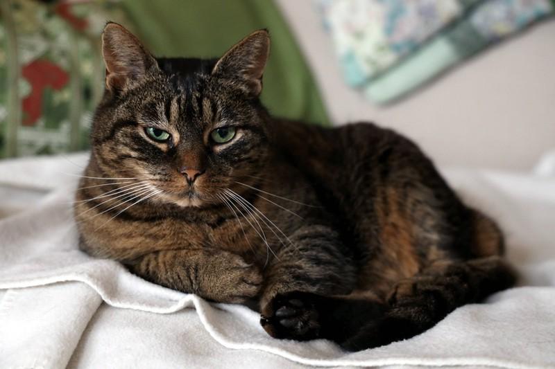 Eine Hauskatze ist zu sehen und es geht um die beliebtesten Katzenrassen.