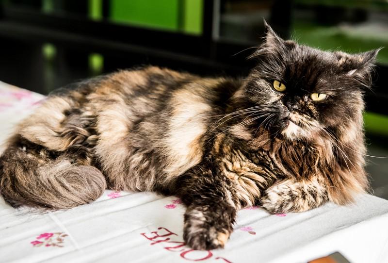 Eine Perserkatze ist zu sehen und es geht um die beliebtesten Katzenrassen