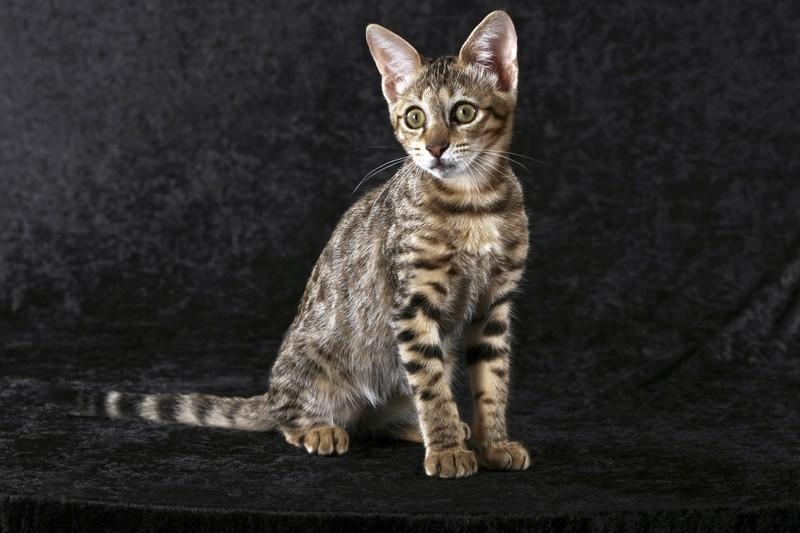 Eine Savannah Katze ist zu sehen und es geht um die beliebtesten Katzenrassen