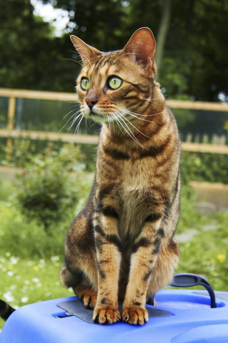 Zu sehen ist eine Bengalkatze und es geht um die beliebtesten Katzenrassen
