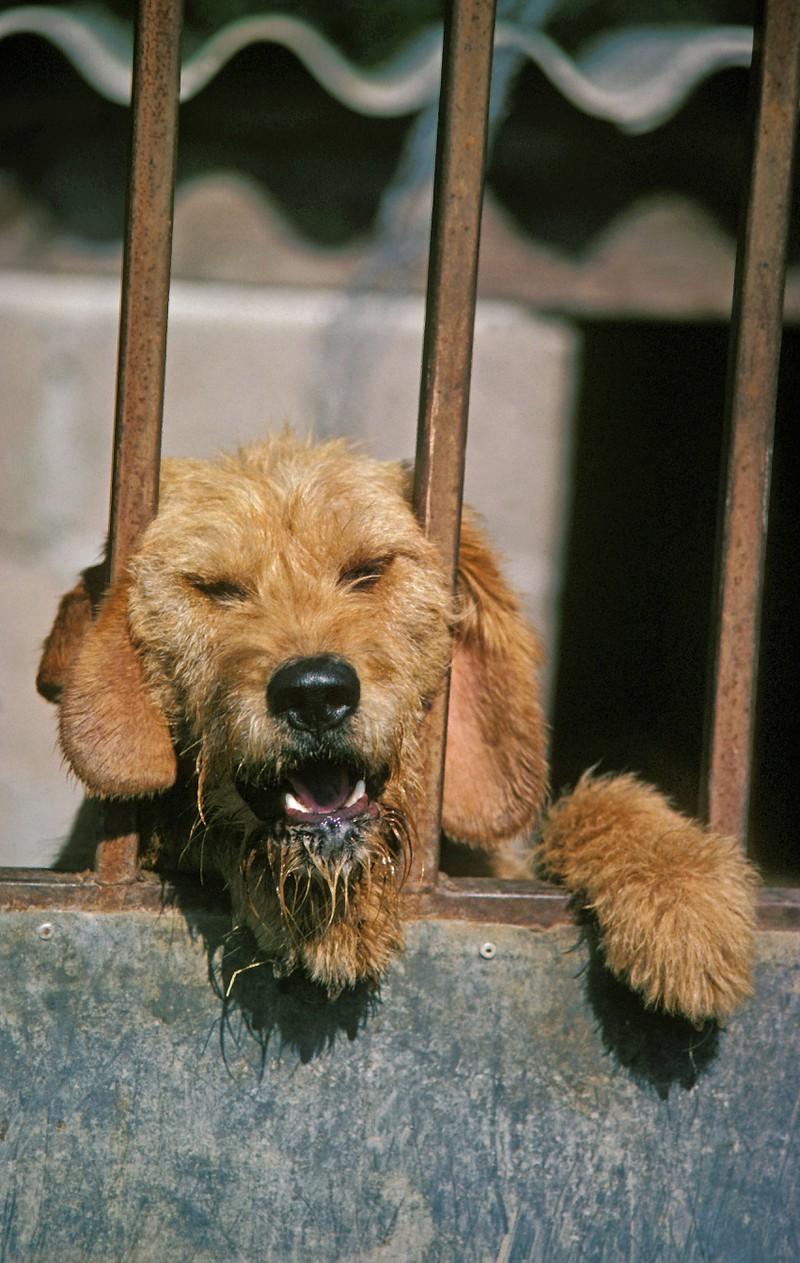 Ein Hund am Zaun des Hauses, der die Nachbarn anbellt