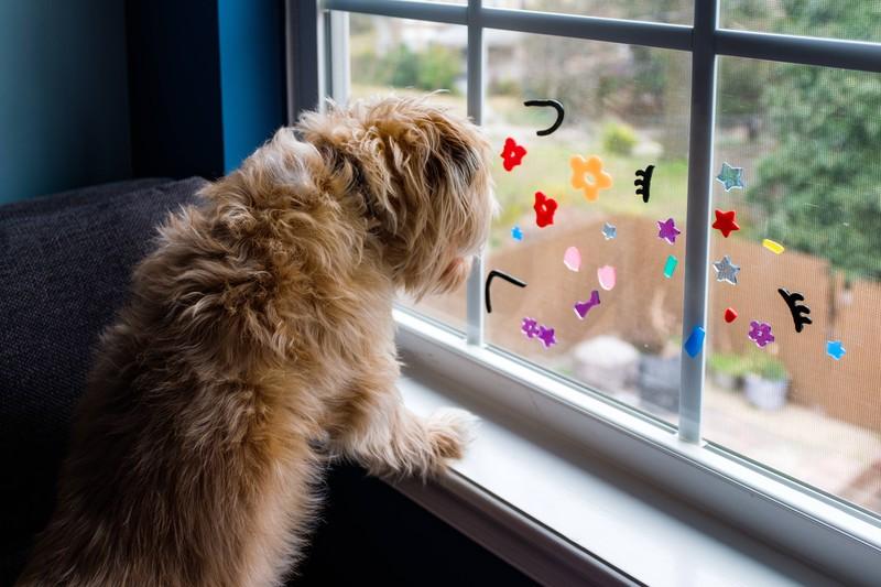 Ein Hund, der aus dem Fenster rausschaut und alleine Zuhause ist