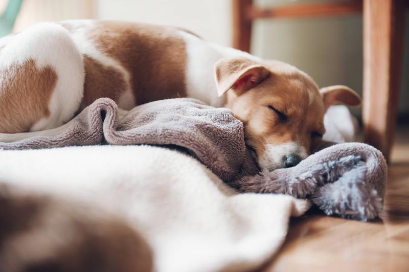 Hund, der am Tag schläft. Wie viel Schlaf ist da normal?