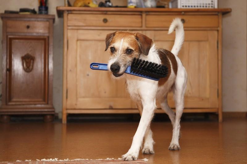 Man sieht einen Hund, der eine Bürste im Maul trägt. Denn es geht um Hundehaare