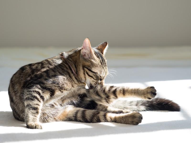 Katze putzt sich gründlich