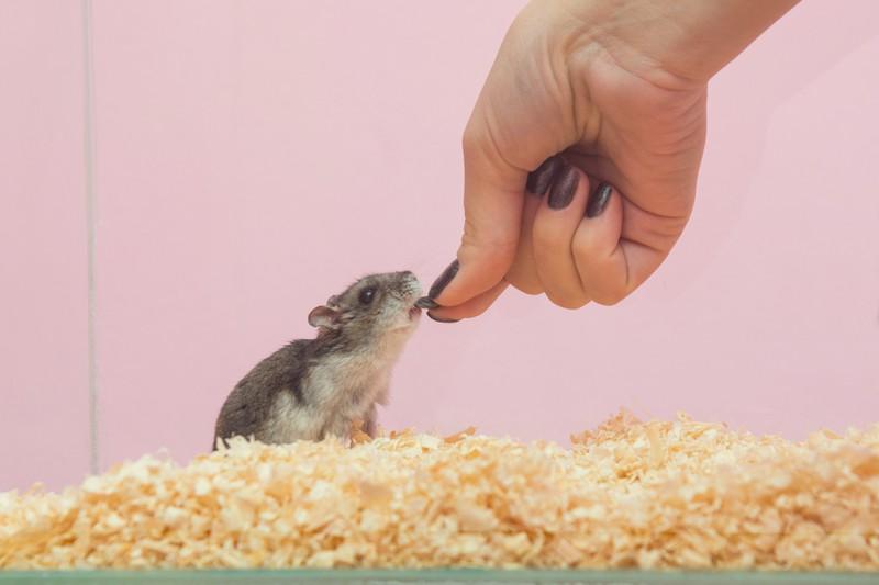 Das Bild zeigt einen Hamster, der gefüttert wird