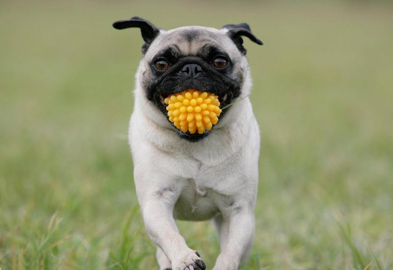 Wenn Hunde ihren Herrchen und Frauchen das Spielzeug bringen, ist das ein Zeichen ihrer Liebe.
