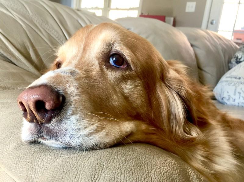 Armer Hund liegt auf der Couch und sollte zum Tierarzt