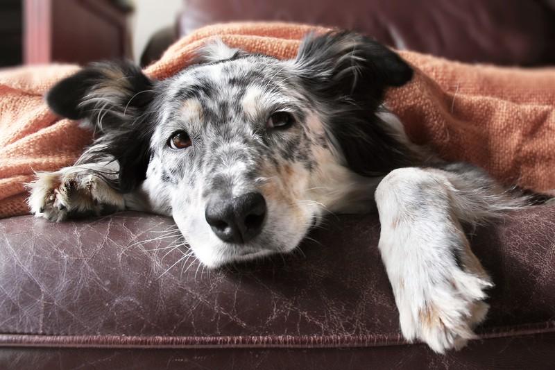 Ein Hund liegt krank im Bett und sollte zum Tierarzt