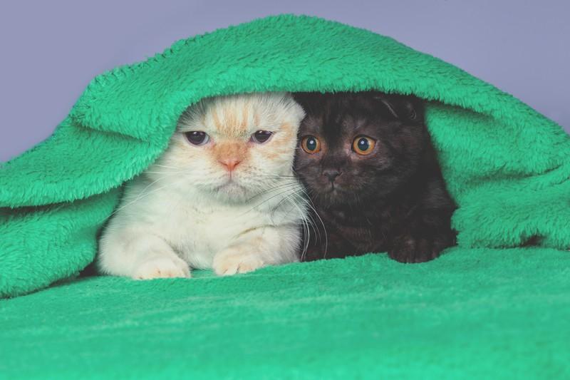 Zwei Katzen unter einer Decke