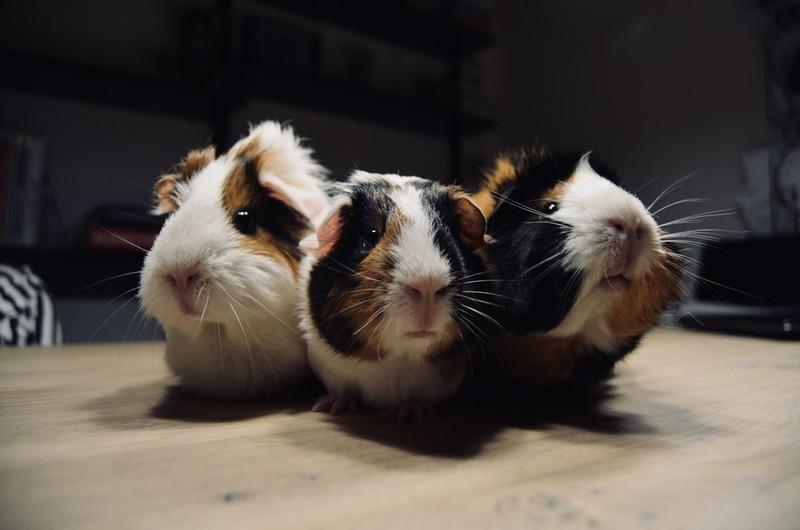 Drei kleine Meerschweinchen