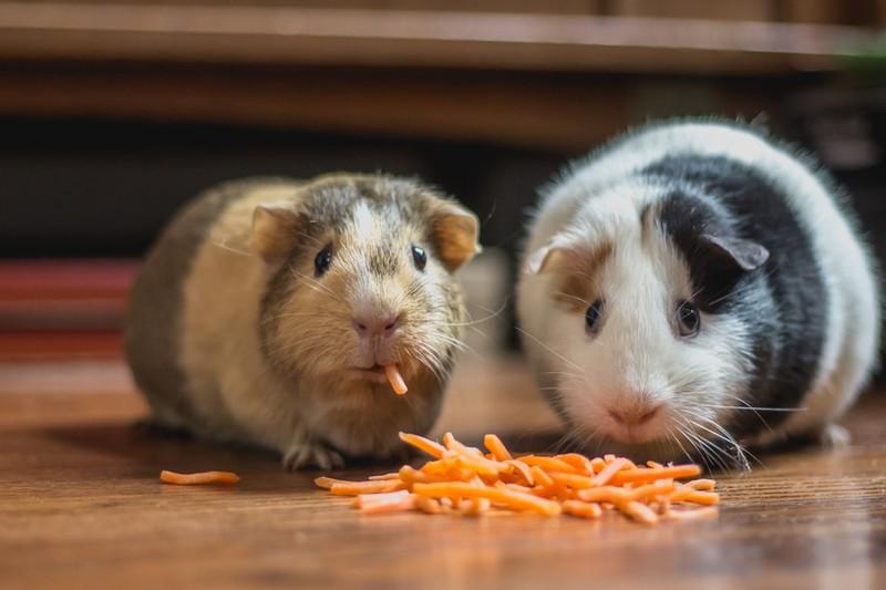 Meerschweinchen essen Karotten