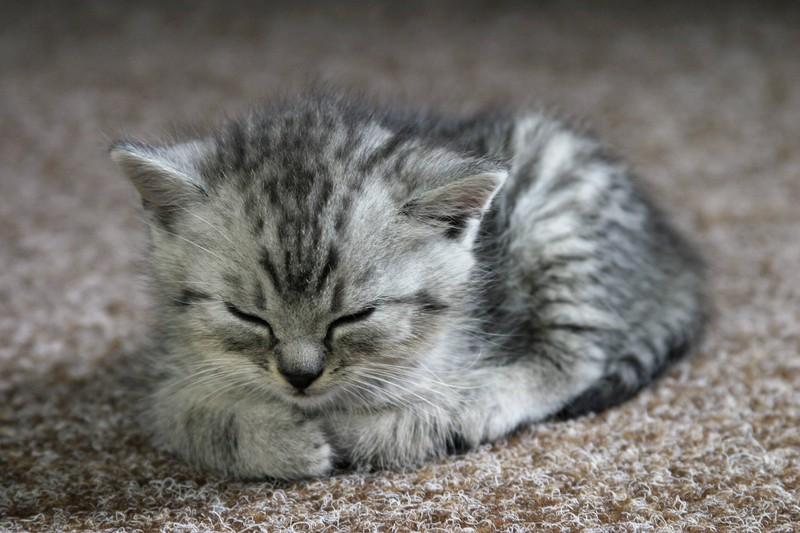 Eine ruhende Katze neigt ihren Kopf leicht nach unten und vergräbt die Beine unter dem Körper.