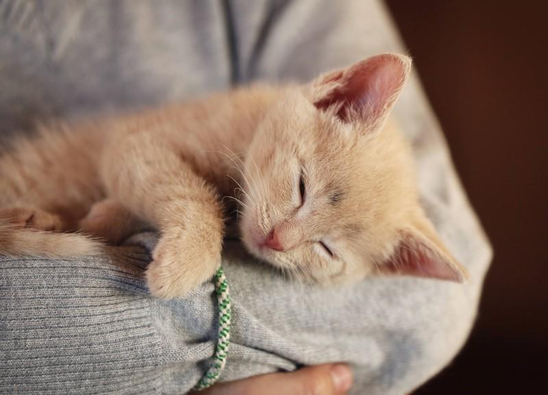 Katze schläft gemütlich auf dem Arm einer Person.