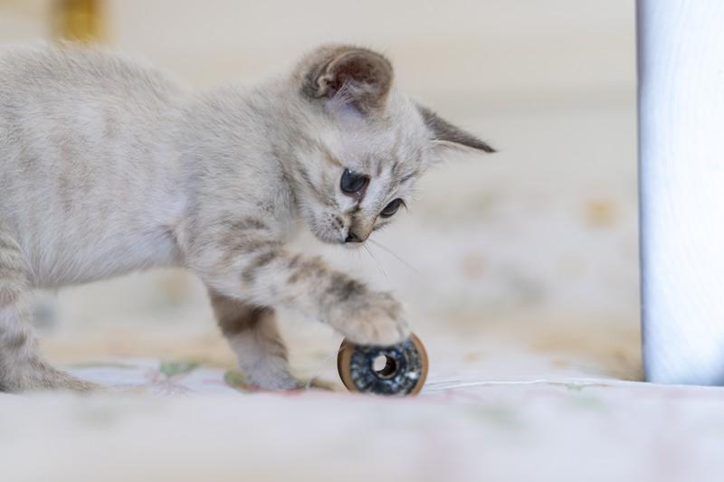 Eine junge Katze spielt mit einem Anhänger und macht noch mehr Arbeit als eine erwachsene Katze.