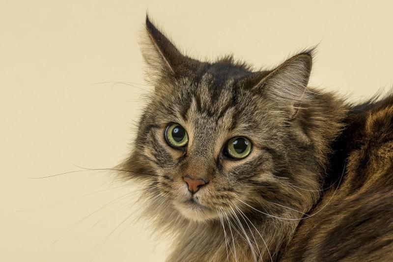 Schöne Katze mit grünen Augen schaut nach oben.