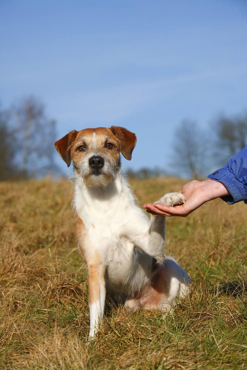 Den Trick Gib Pfote sollte jeder Hund kennen.